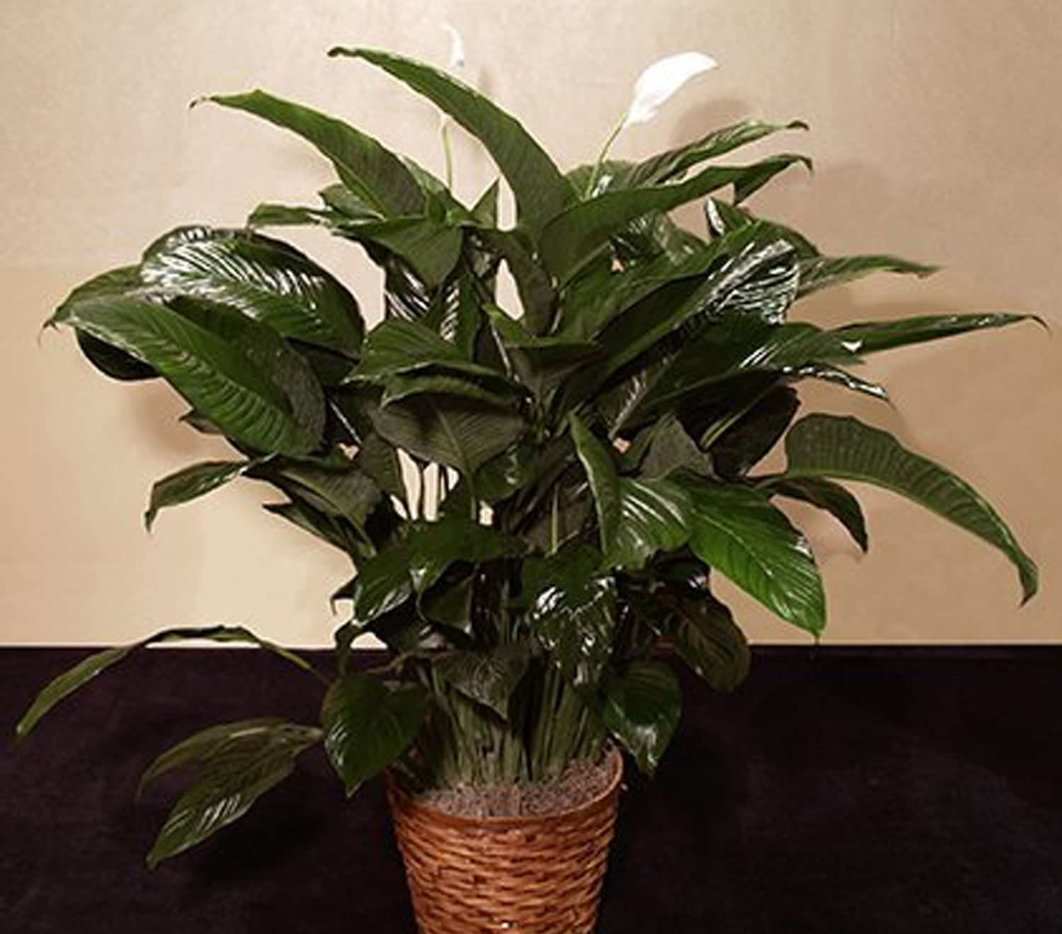 Peace Lilly Plant Lofendo Flowers
